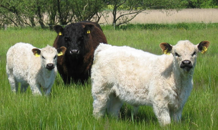 Gallowayrinder im Naturschutzgebiet Salzwiesen von Münzenberg