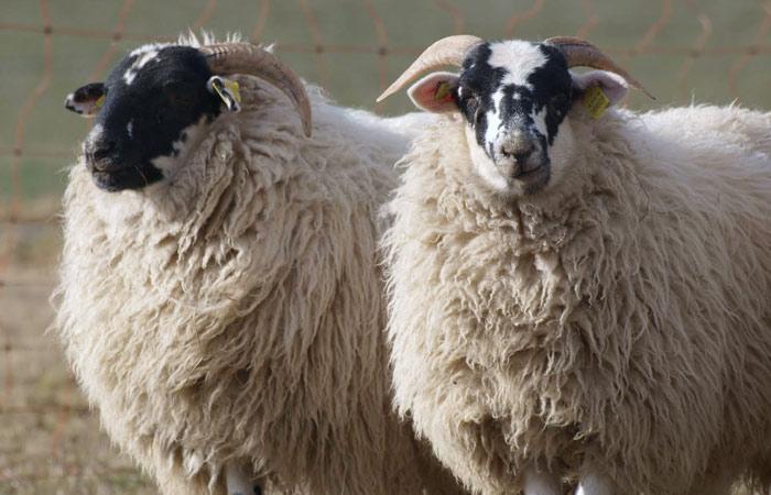 Scottish Blackface Schafe